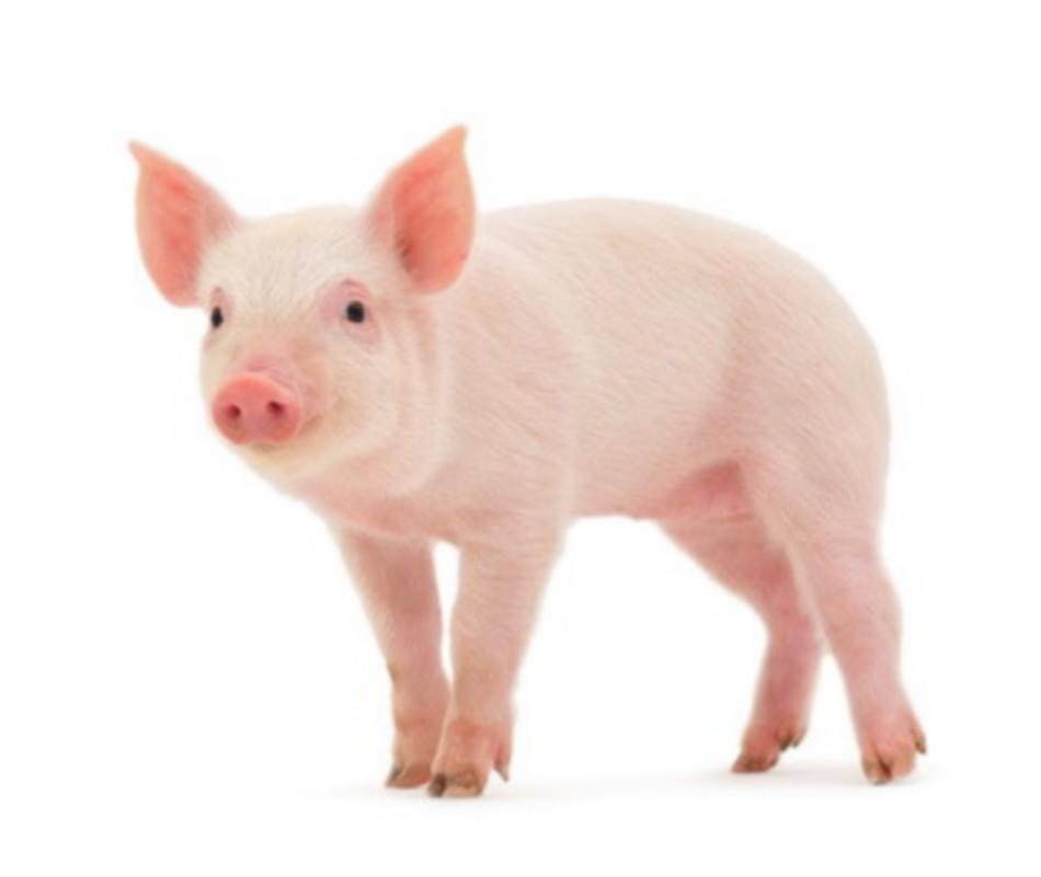 Quelle viande de porc acheter la tendresse en cuisine - Cuisiner rognons de porc ...
