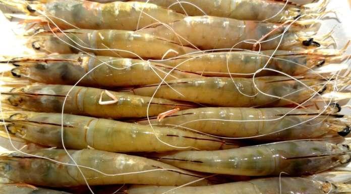 Crevettes guinéennes 2